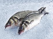 Wolfsbarsch ausgenommen mit Kopf Zucht ca. 0,8 - 1 kg Stücke 5 kg