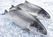 Horeca Select Bömlo Lachs ca. 2 - 3 kg Stücke, ausgenommen, mit Kopf 20 kg