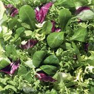 Horeca Select Salatmischung Exquisit Mix aus Frisee, Radicchio & Feldsalat 1 kg Beutel