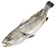 Adlerfisch aus Zucht rund 0,8 - 1,2 kg