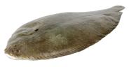 Seezunge ca. 100 - 200 g Stücke, ausgenommen, mit Kopf 5 kg