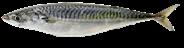Verse makreel sortering 300-500 gram