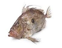 Ryba sv. Petra chlaz. váž. 1x cca 1-2kg