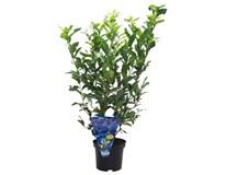 Borůvka kanadská rostlina dekorační 1ks