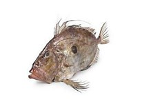 Ryba sv. Petra chlaz. váž. 1x cca 1000-2000g