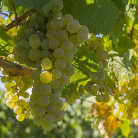 struguri din moldova pentru pinot grigio si alte vinuri albe