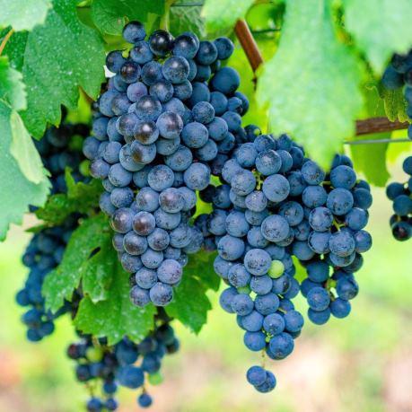 Struguri din moldova pentru vinuri rosii