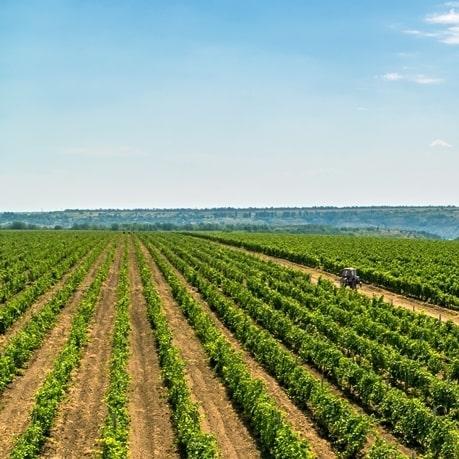 struguri din care se fac vinuri moldovenesti