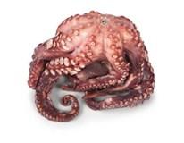 Chobotnica pitvaná varená chlad. váž. cca 0,5-1 kg